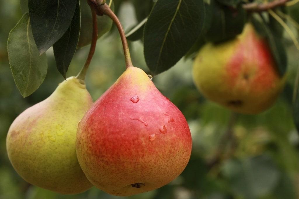 Prix d'un entretien arbre fruitier